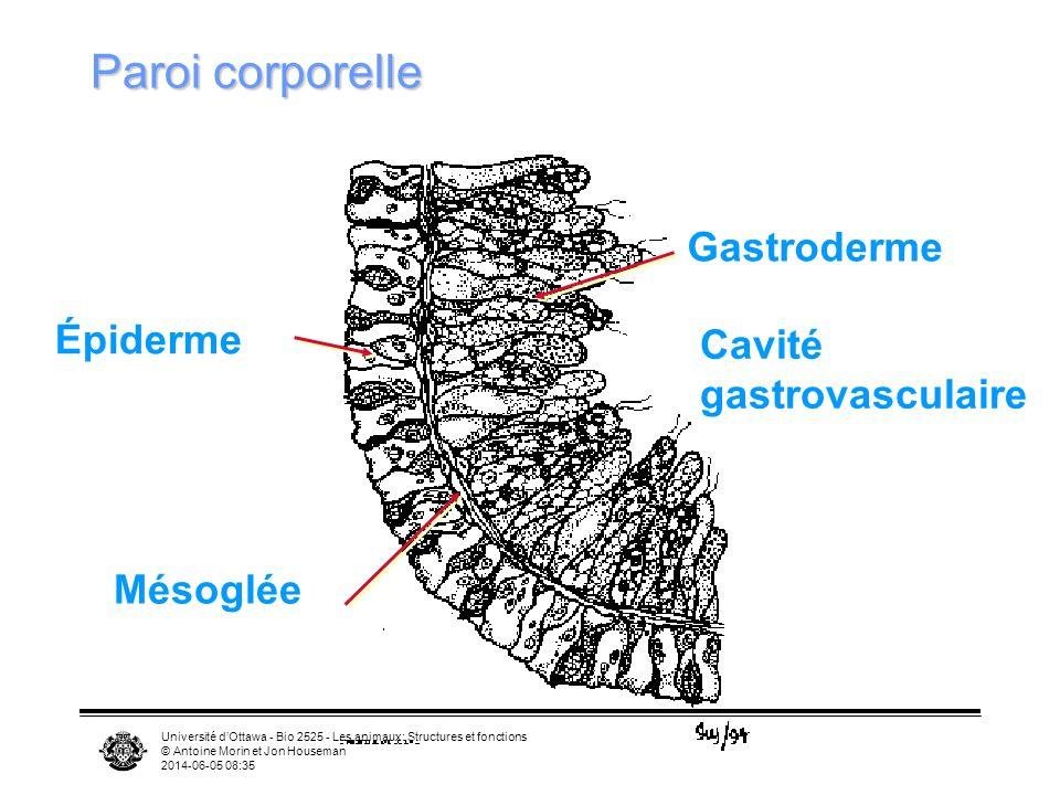 Paroi corporelle Gastroderme Épiderme Cavité gastrovasculaire Mésoglée