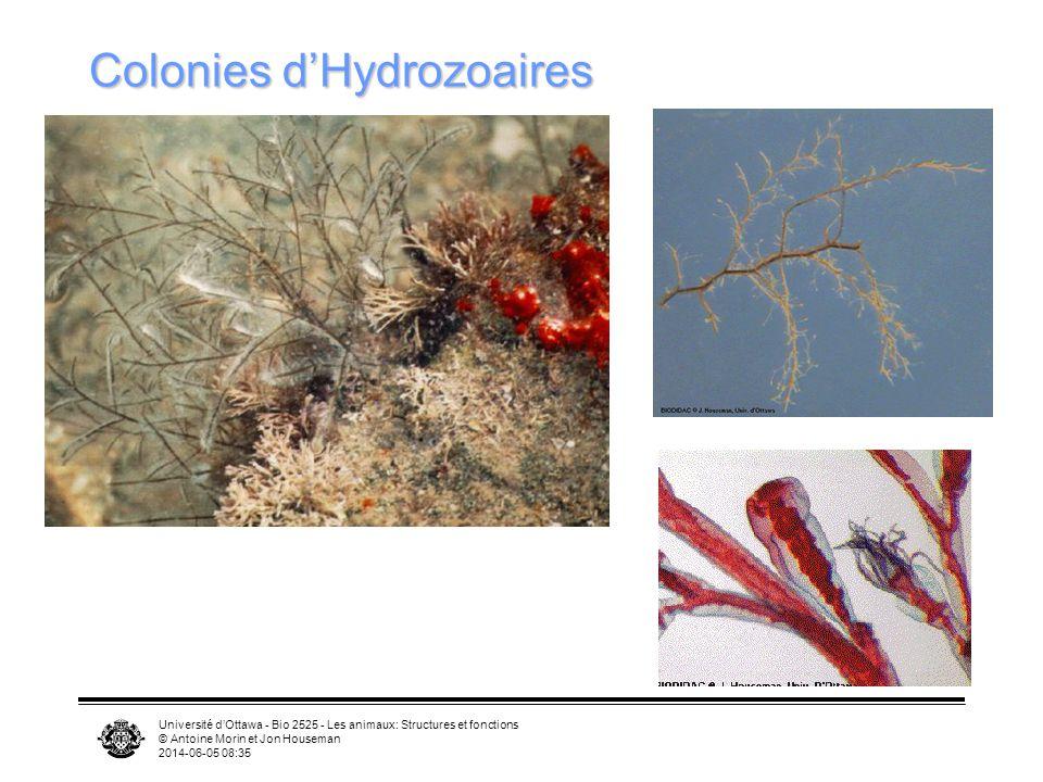Colonies d'Hydrozoaires