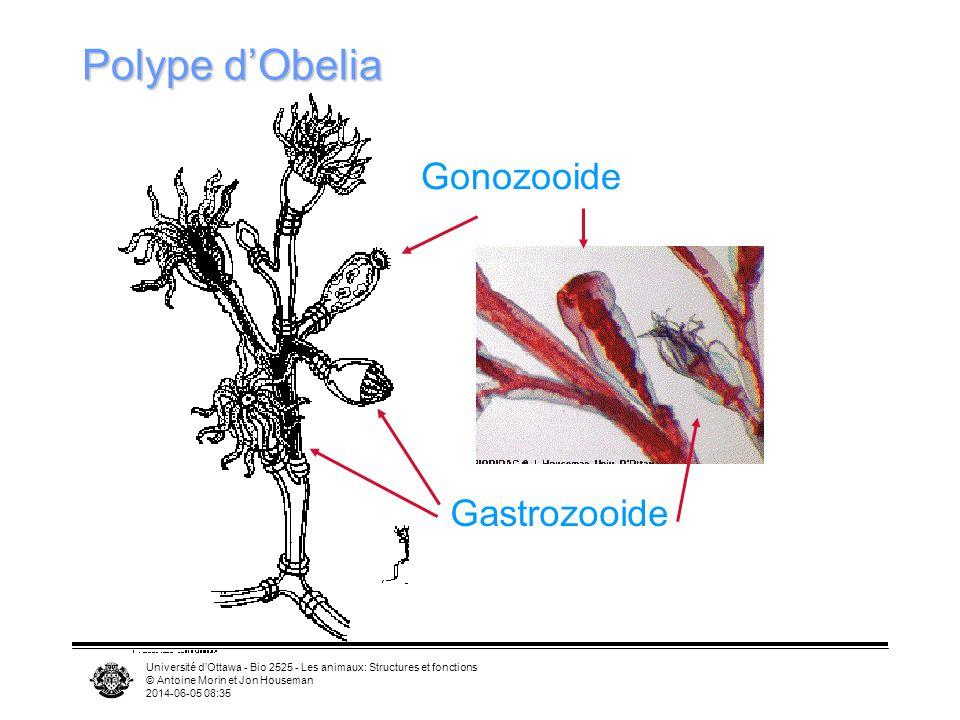 Polype d'Obelia Gonozooide Gastrozooide
