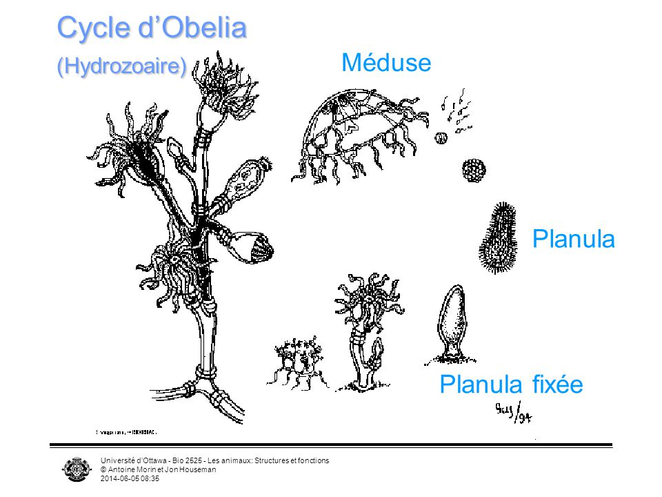 Cycle d'Obelia (Hydrozoaire)