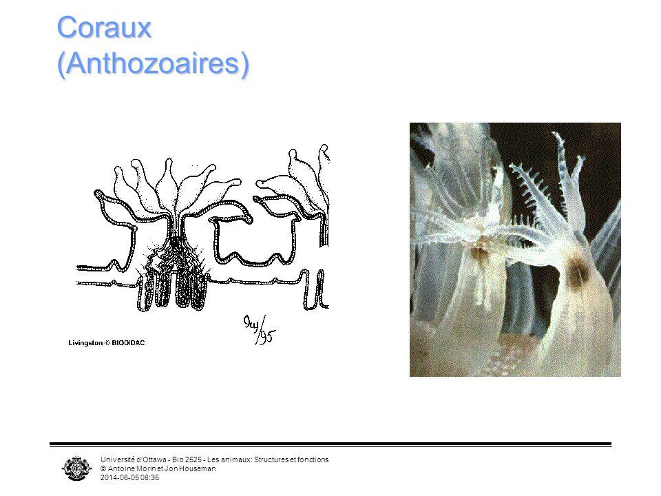 Coraux (Anthozoaires)