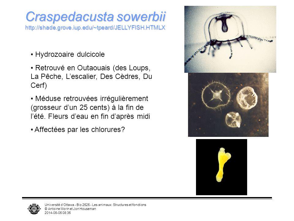 Craspedacusta sowerbii http://shade. grove. iup. edu/~tpeard/JELLYFISH