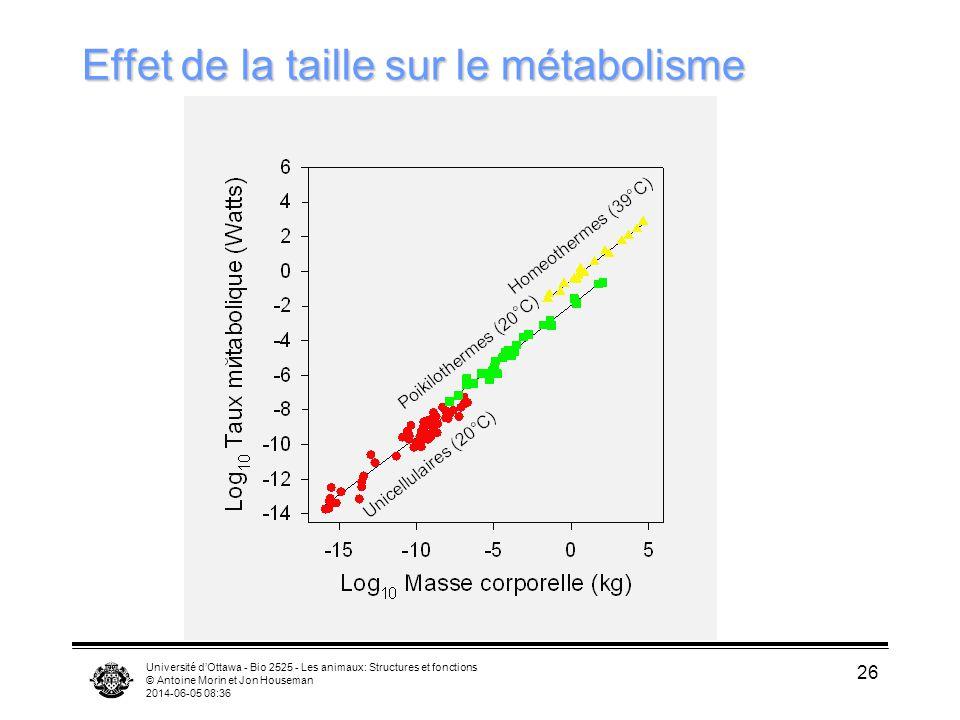 Effet de la taille sur le métabolisme