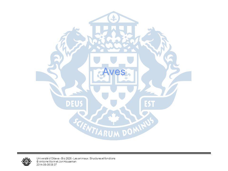 Aves Université d'Ottawa - Bio 2525 - Les animaux: Structures et fonctions. © Antoine Morin et Jon Houseman.