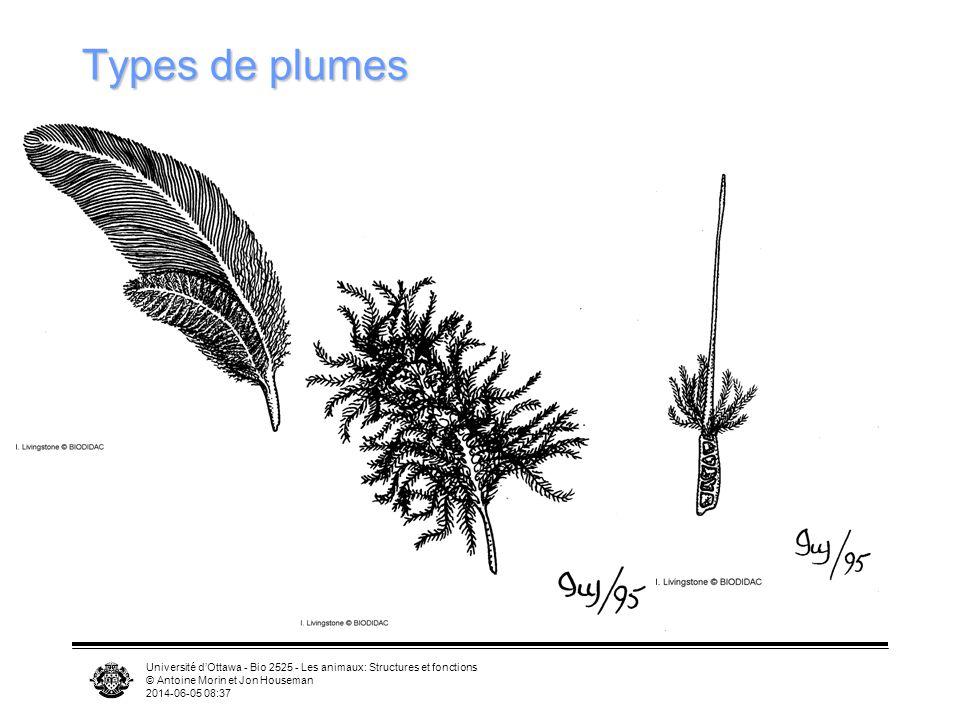 Types de plumes Université d'Ottawa - Bio 2525 - Les animaux: Structures et fonctions. © Antoine Morin et Jon Houseman.