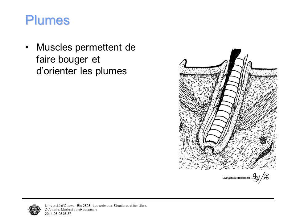 Plumes Muscles permettent de faire bouger et d'orienter les plumes