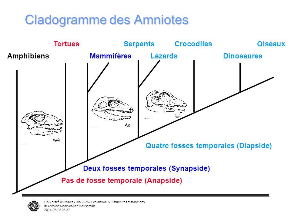 Cladogramme des Amniotes
