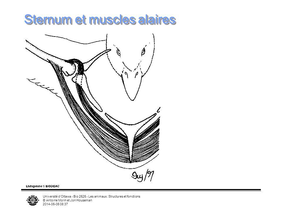 Sternum et muscles alaires