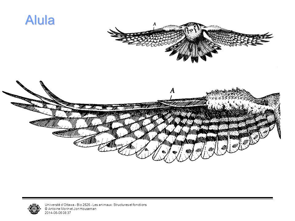 Alula Université d'Ottawa - Bio 2525 - Les animaux: Structures et fonctions. © Antoine Morin et Jon Houseman.
