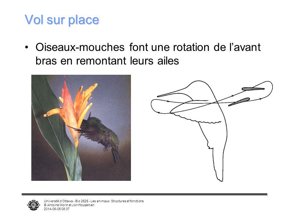 Vol sur place Oiseaux-mouches font une rotation de l'avant bras en remontant leurs ailes.