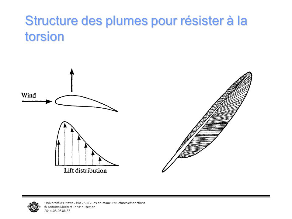 Structure des plumes pour résister à la torsion