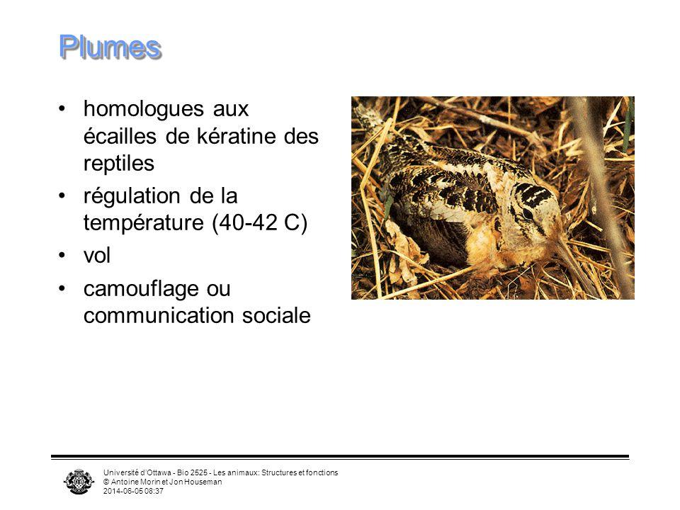 Plumes homologues aux écailles de kératine des reptiles