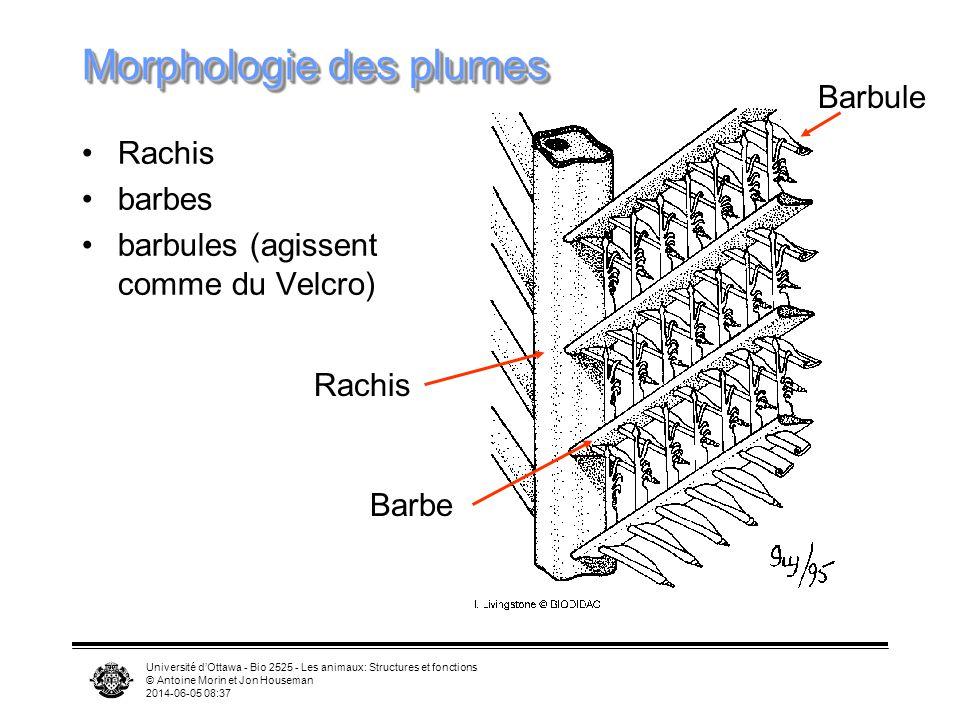 Morphologie des plumes