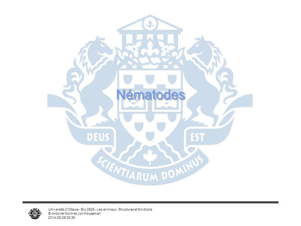 Nématodes Université d'Ottawa - Bio 2525 - Les animaux: Structures et fonctions. © Antoine Morin et Jon Houseman.