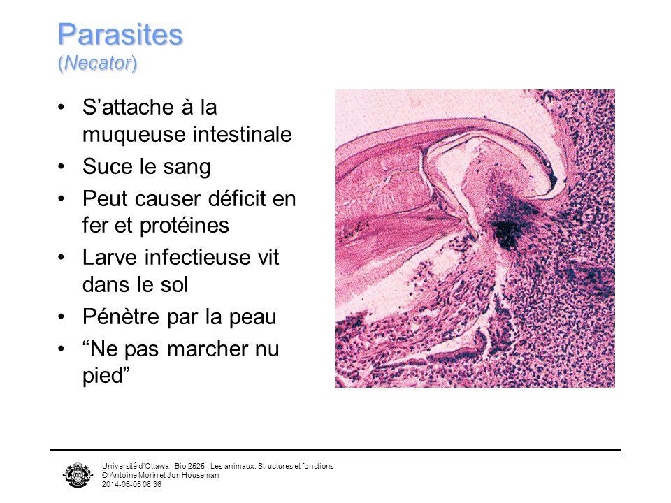 Parasites (Necator) S'attache à la muqueuse intestinale Suce le sang
