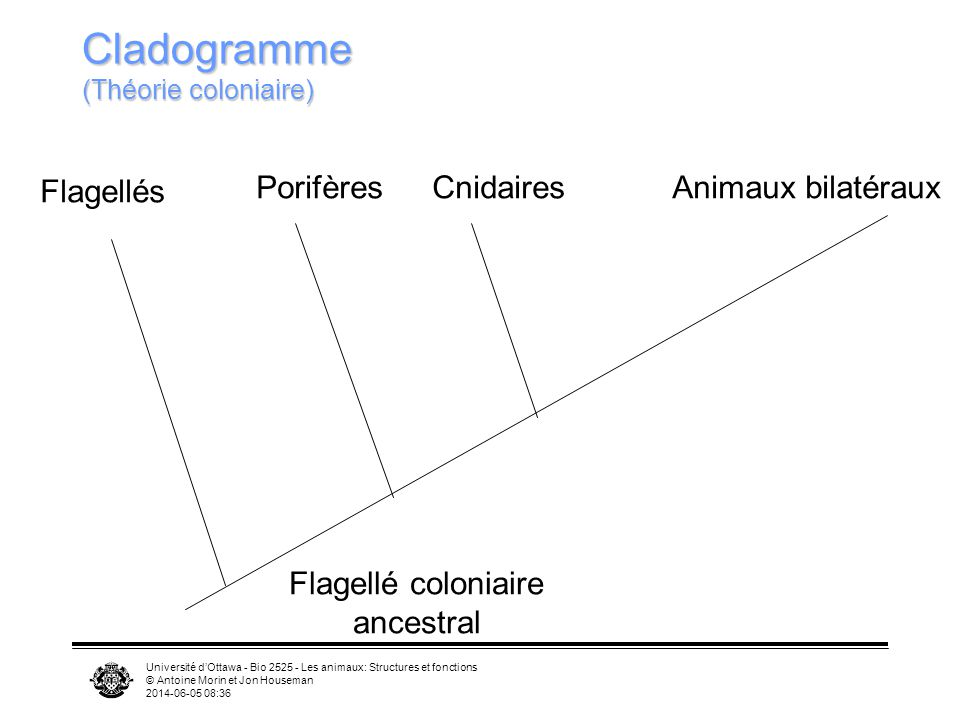 Cladogramme (Théorie coloniaire)