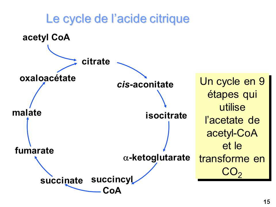 Le cycle de l'acide citrique