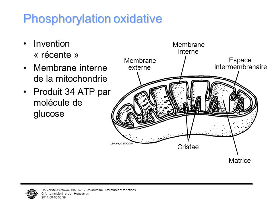 Phosphorylation oxidative