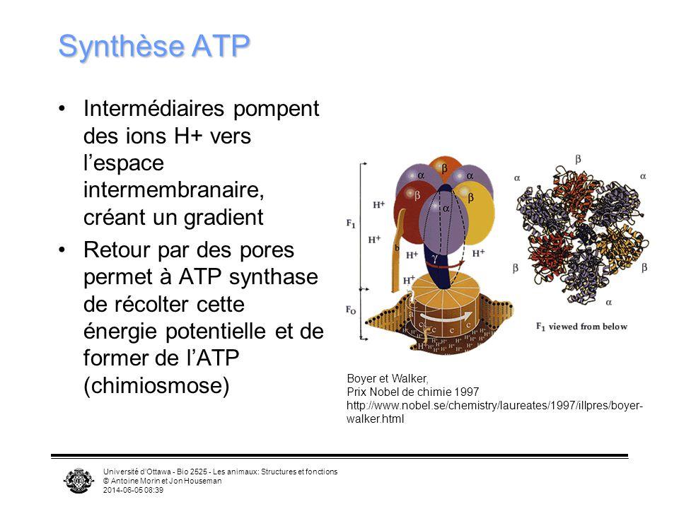 Synthèse ATP Intermédiaires pompent des ions H+ vers l'espace intermembranaire, créant un gradient.