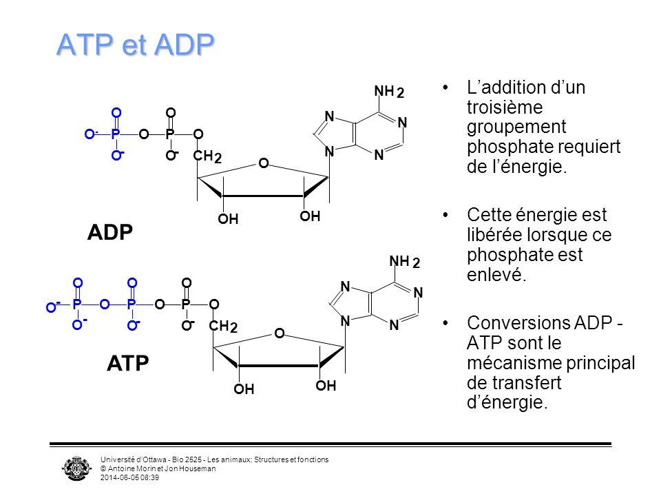 ATP et ADP CH. 2. O. OH. N. NH. P. O- - ADP. L'addition d'un troisième groupement phosphate requiert de l'énergie.