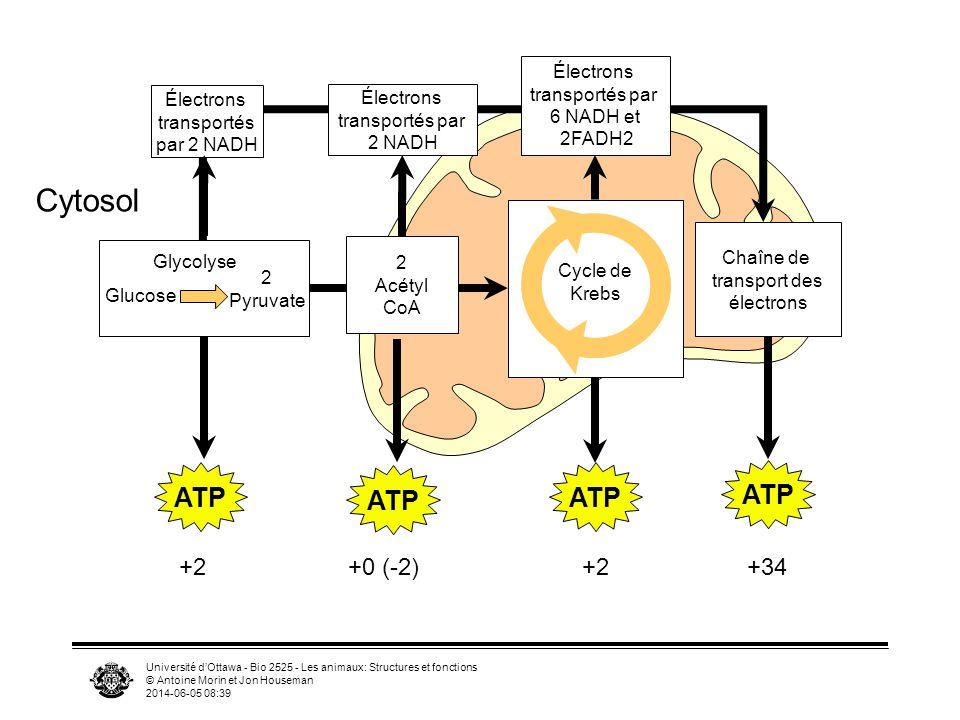Cytosol ATP +2 +34 +0 (-2) Électrons transportés par 6 NADH et
