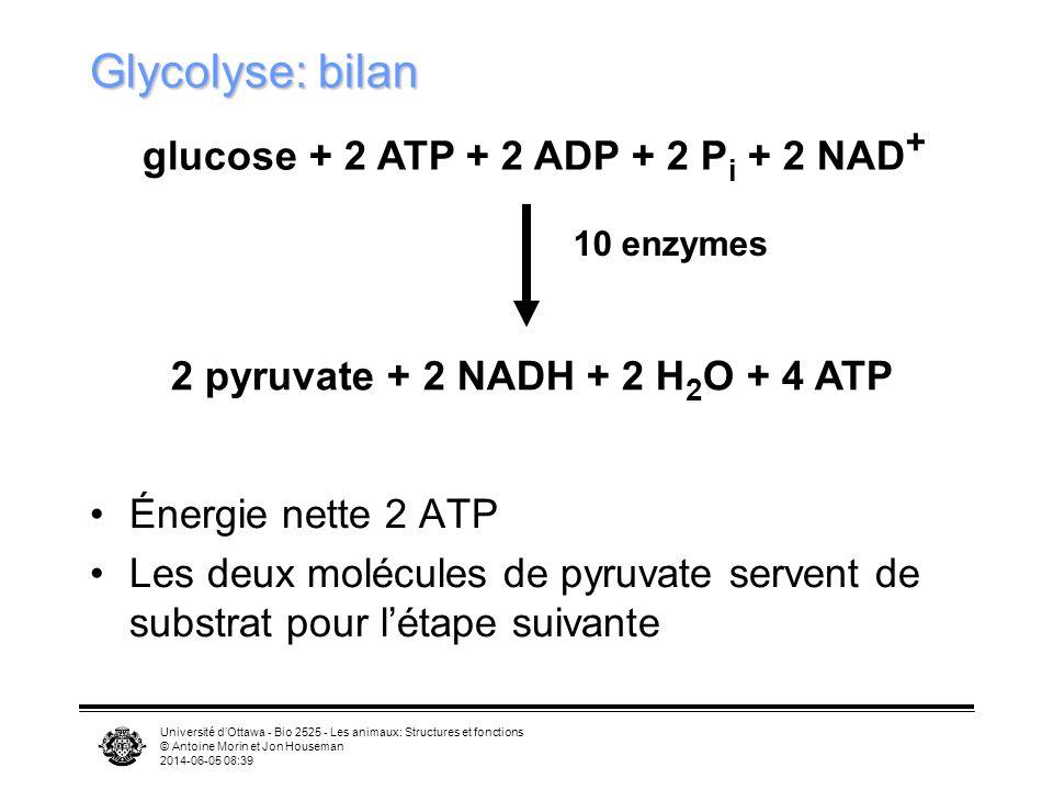 Glycolyse: bilan glucose + 2 ATP + 2 ADP + 2 Pi + 2 NAD+