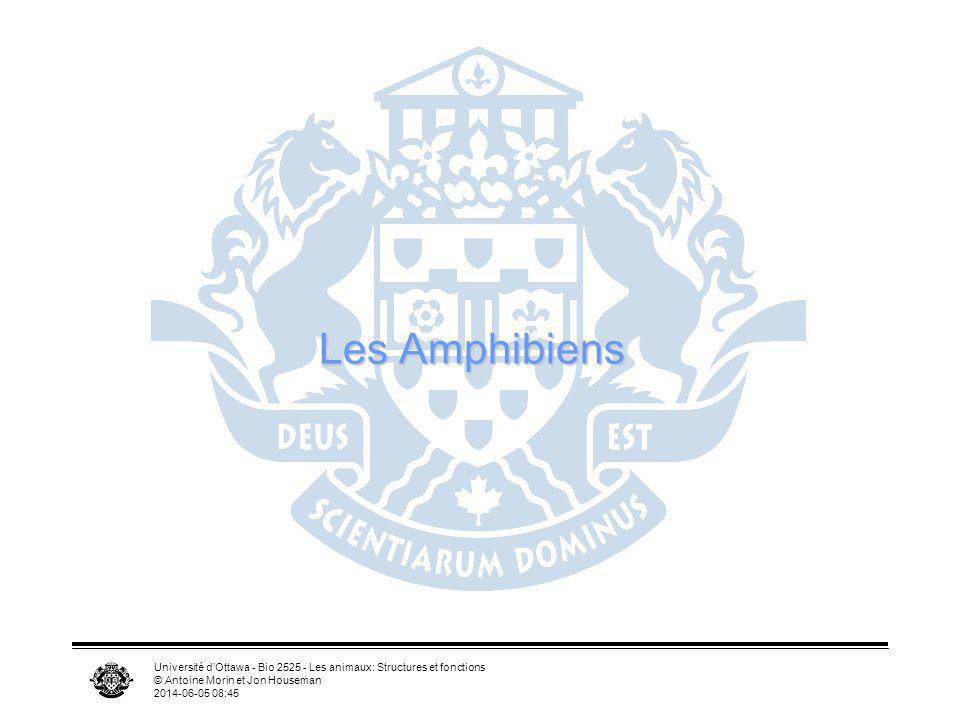 Les Amphibiens Université d'Ottawa - Bio 2525 - Les animaux: Structures et fonctions. © Antoine Morin et Jon Houseman.