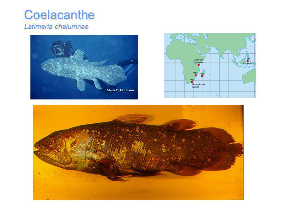 Coelacanthe Latimeria chalumnae