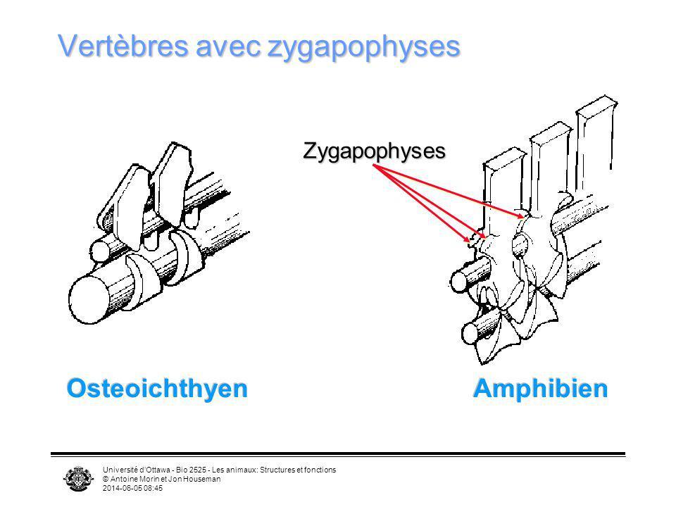 Vertèbres avec zygapophyses