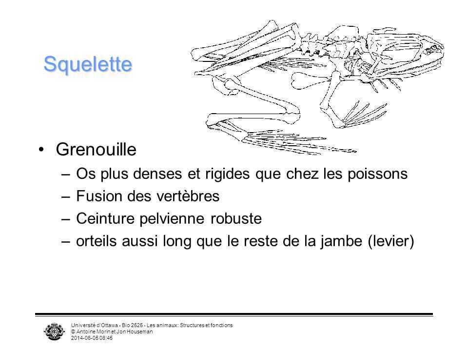 Squelette Grenouille Os plus denses et rigides que chez les poissons