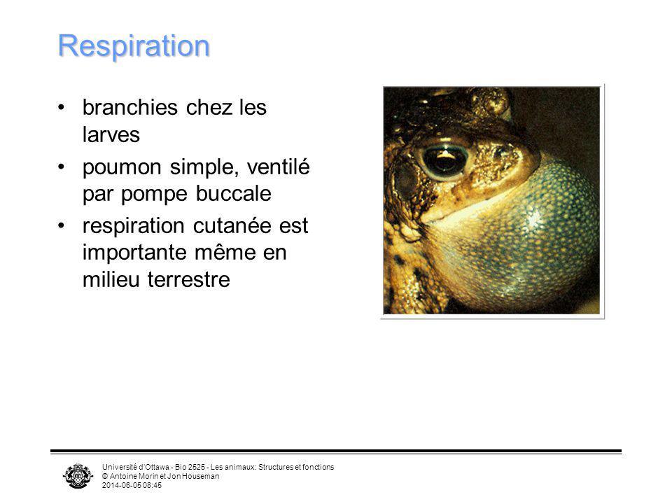 Respiration branchies chez les larves