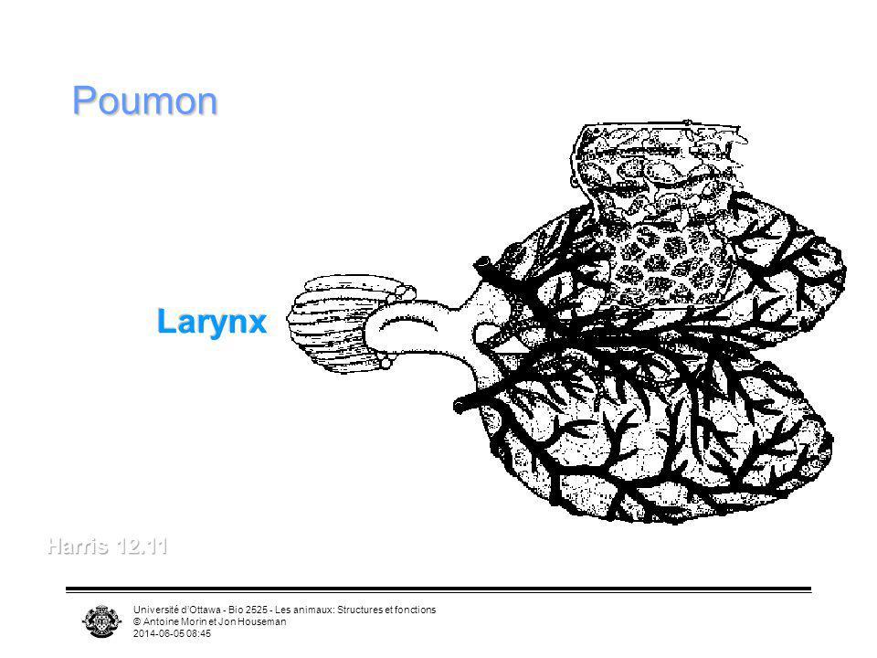 Poumon Larynx. Harris 12.11. Université d'Ottawa - Bio 2525 - Les animaux: Structures et fonctions.