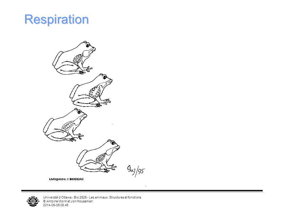 Respiration Université d'Ottawa - Bio 2525 - Les animaux: Structures et fonctions. © Antoine Morin et Jon Houseman.