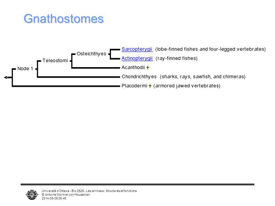 Gnathostomes Université d'Ottawa - Bio 2525 - Les animaux: Structures et fonctions. © Antoine Morin et Jon Houseman.