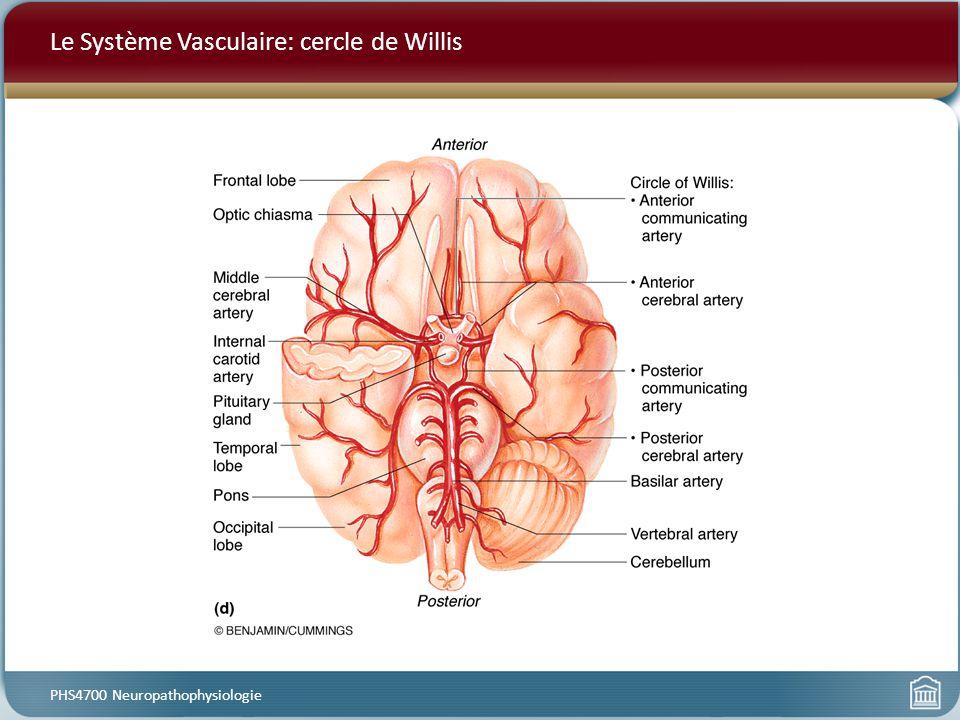 Le Système Vasculaire: cercle de Willis