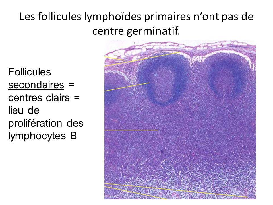 Les follicules lymphoïdes primaires n'ont pas de centre germinatif.
