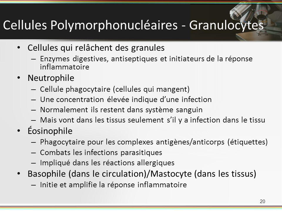 Cellules Polymorphonucléaires - Granulocytes