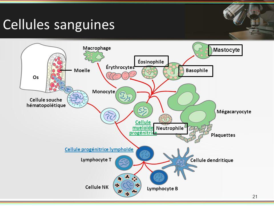 Cellule souche hématopoïétique Cellule myeloïde progénitrice
