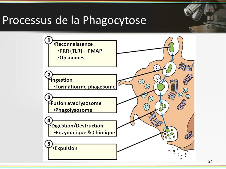 Processus de la Phagocytose