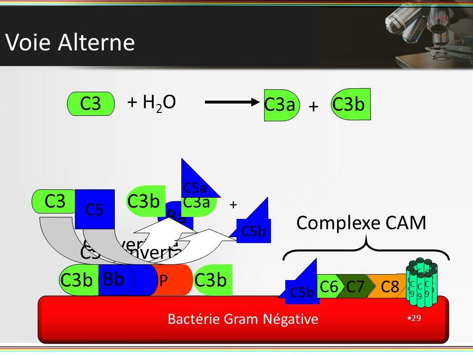Bactérie Gram Négative