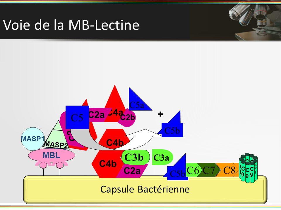 Voie de la MB-Lectine C3 C5 C3b C6 C7 C8 Capsule Bactérienne C5a C4a +