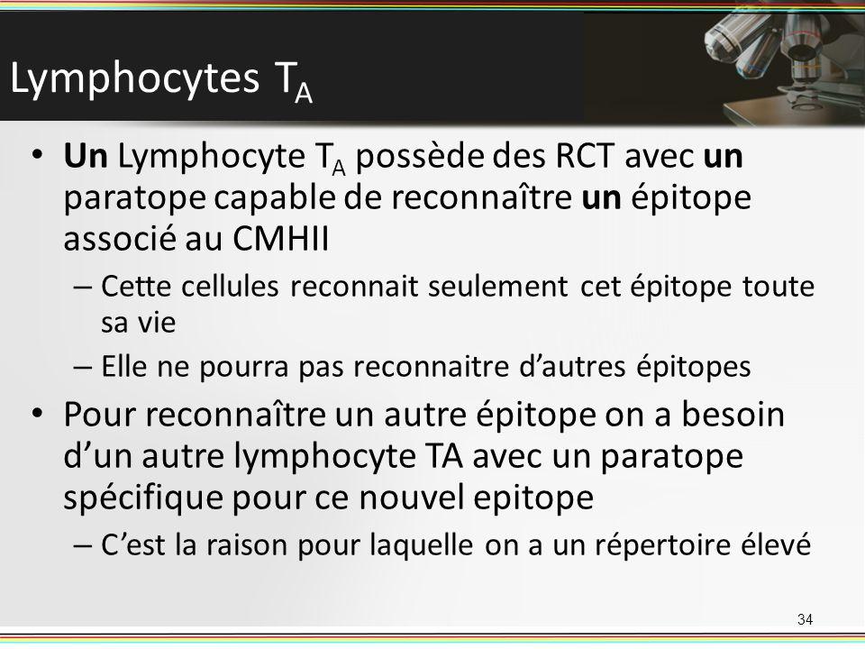 Lymphocytes TA Un Lymphocyte TA possède des RCT avec un paratope capable de reconnaître un épitope associé au CMHII.