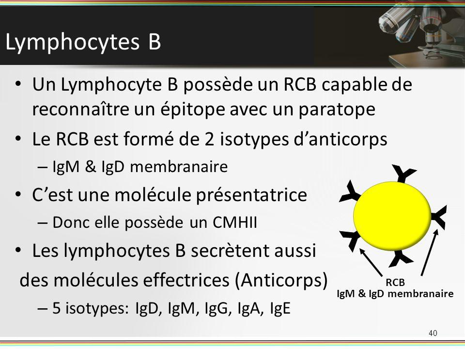 Lymphocytes B Un Lymphocyte B possède un RCB capable de reconnaître un épitope avec un paratope. Le RCB est formé de 2 isotypes d'anticorps.