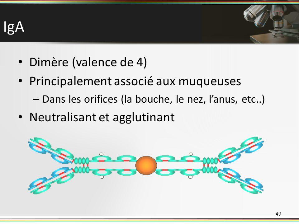 IgA Dimère (valence de 4) Principalement associé aux muqueuses
