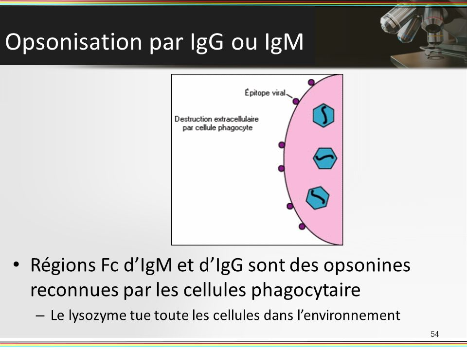 Opsonisation par IgG ou IgM