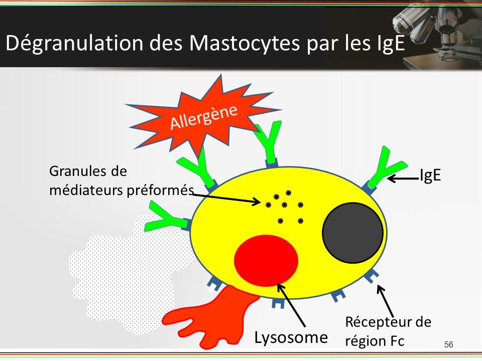 Dégranulation des Mastocytes par les IgE