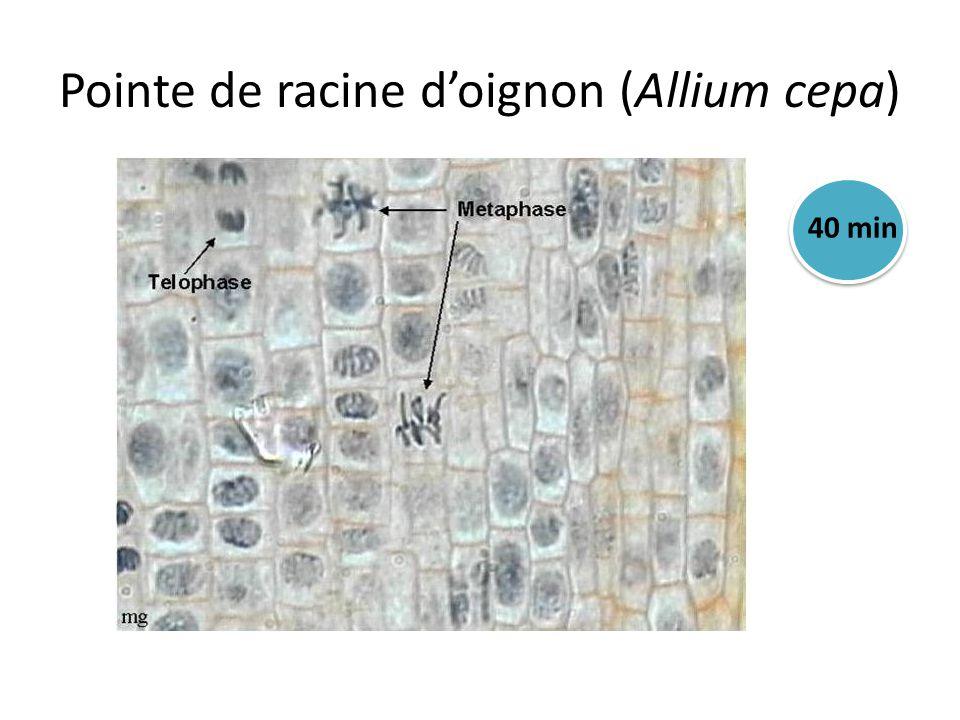 Pointe de racine d'oignon (Allium cepa)
