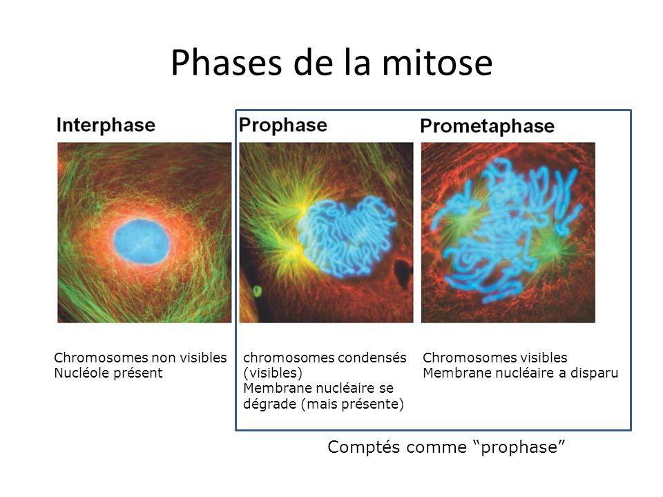 Phases de la mitose Comptés comme prophase Chromosomes non visibles