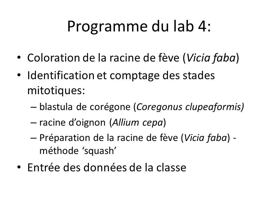 Programme du lab 4: Coloration de la racine de fève (Vicia faba)