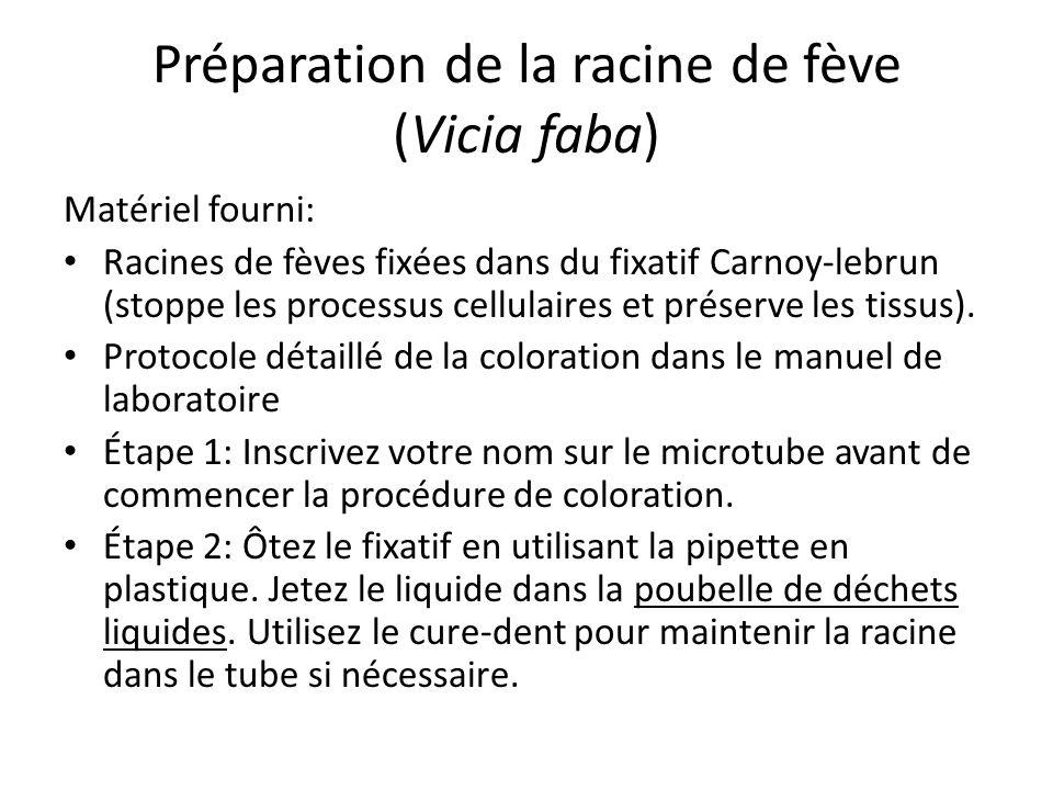 Préparation de la racine de fève (Vicia faba)